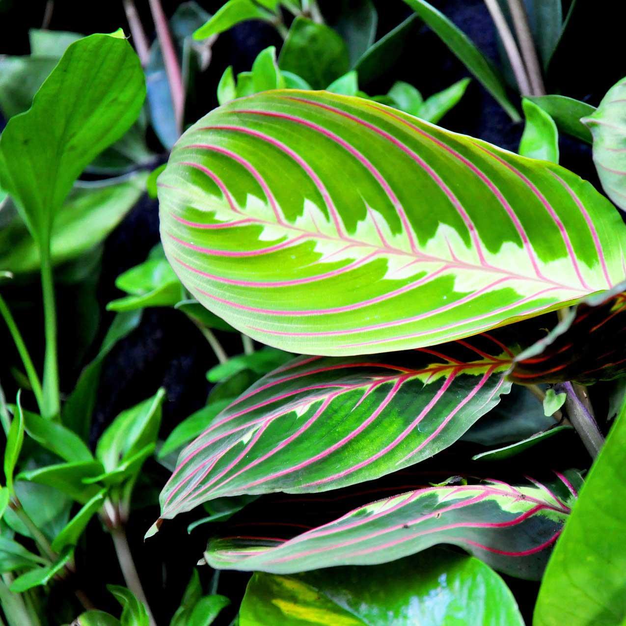 10 biljaka za apartmane u kojima nema puno prirodne svjetlosti Maranta