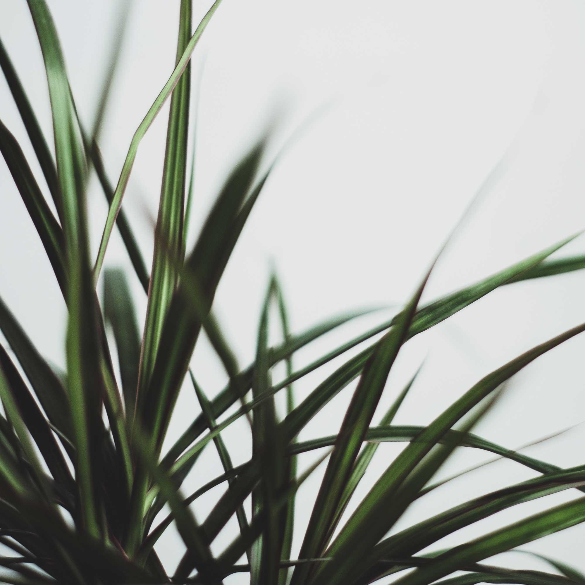10 biljaka za apartmane u kojima nema puno prirodne svjetlosti Dracena