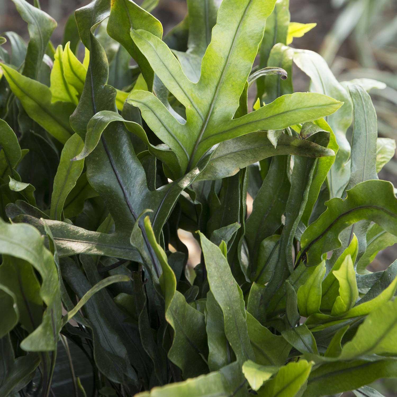 10 biljaka za apartmane u kojima nema puno prirodne svjetlosti Microsorum diversifolum