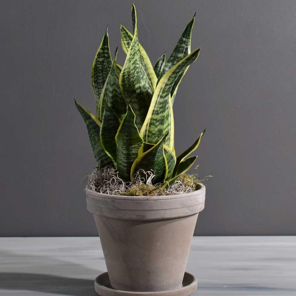 10 biljaka za apartmane u kojima nema puno prirodne svjetlosti Sanseveria