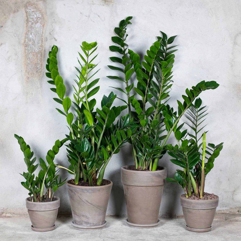 10 biljaka za apartmane u kojima nema puno prirodne svjetlosti Zamija