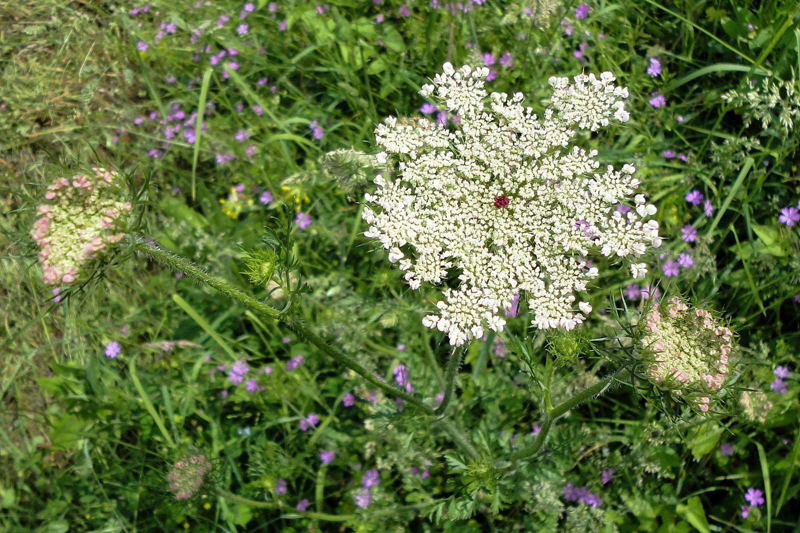 Dalmatinska mišancija - koje biljke brati i kako pripremati? Divlja mrkva