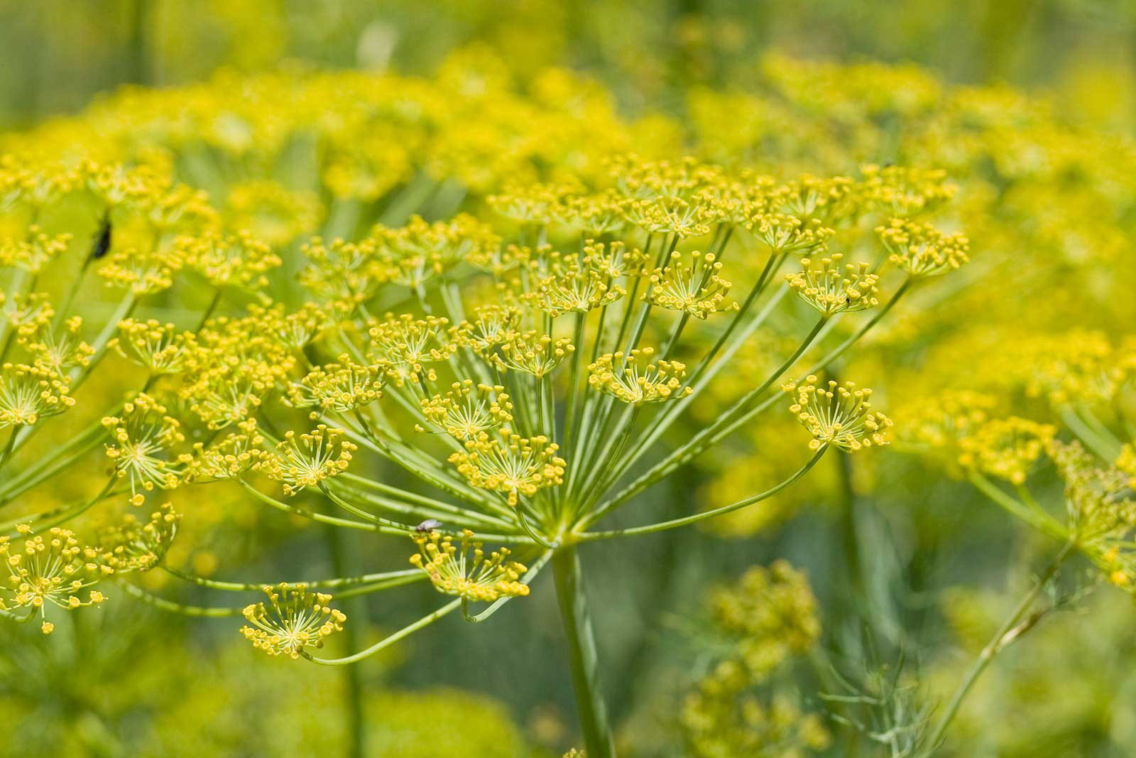 Dalmatinska mišancija - koje biljke brati i kako pripremati? Koromač