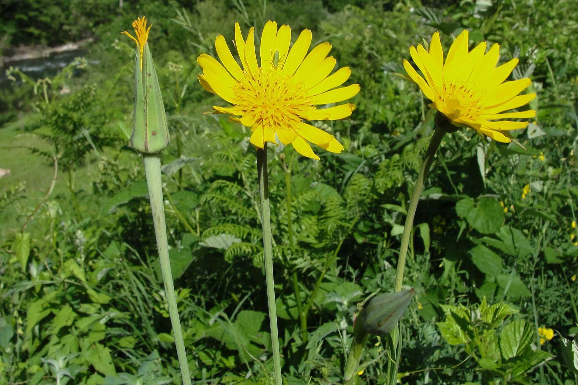 Dalmatinska mišancija - koje biljke brati i kako pripremati? Kozja brada