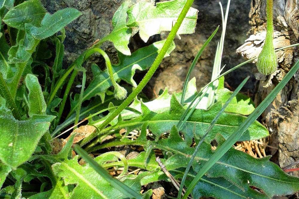 Dalmatinska mišancija - koje biljke brati i kako pripremati? Lavlji zub