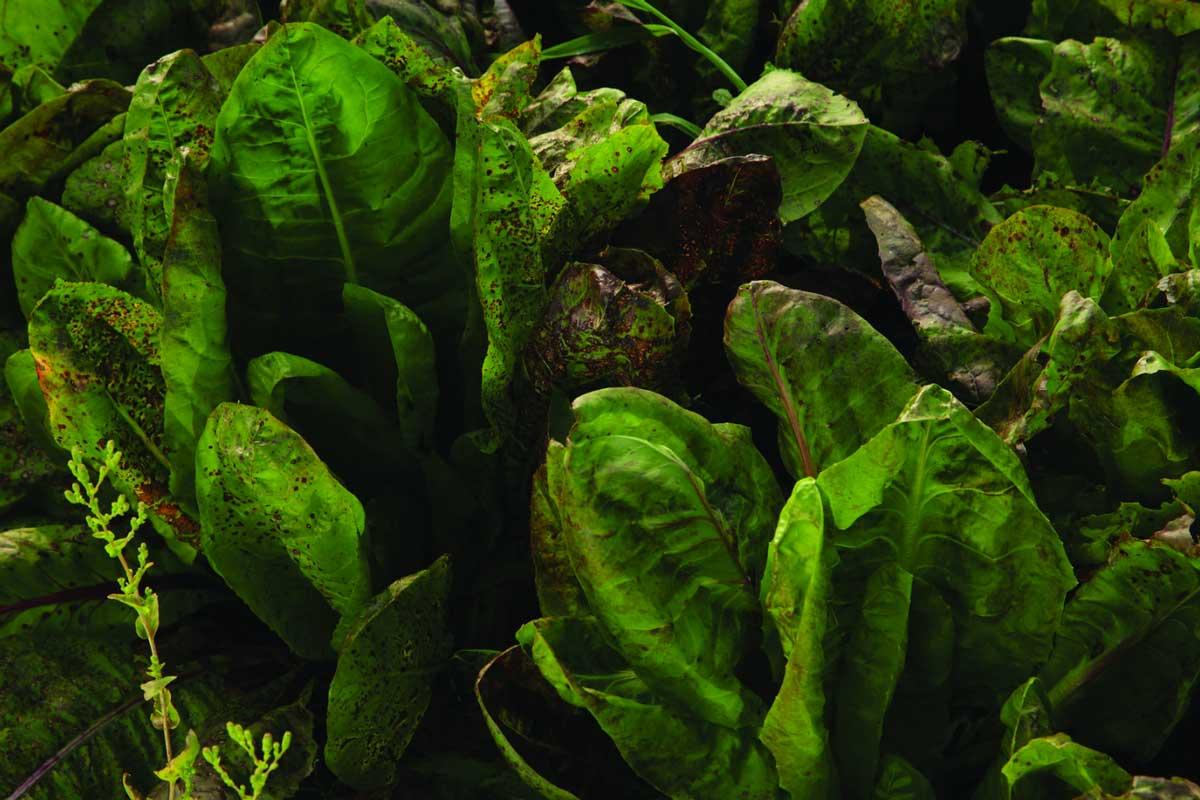 Dalmatinska mišancija - koje biljke brati i kako pripremati? Radič