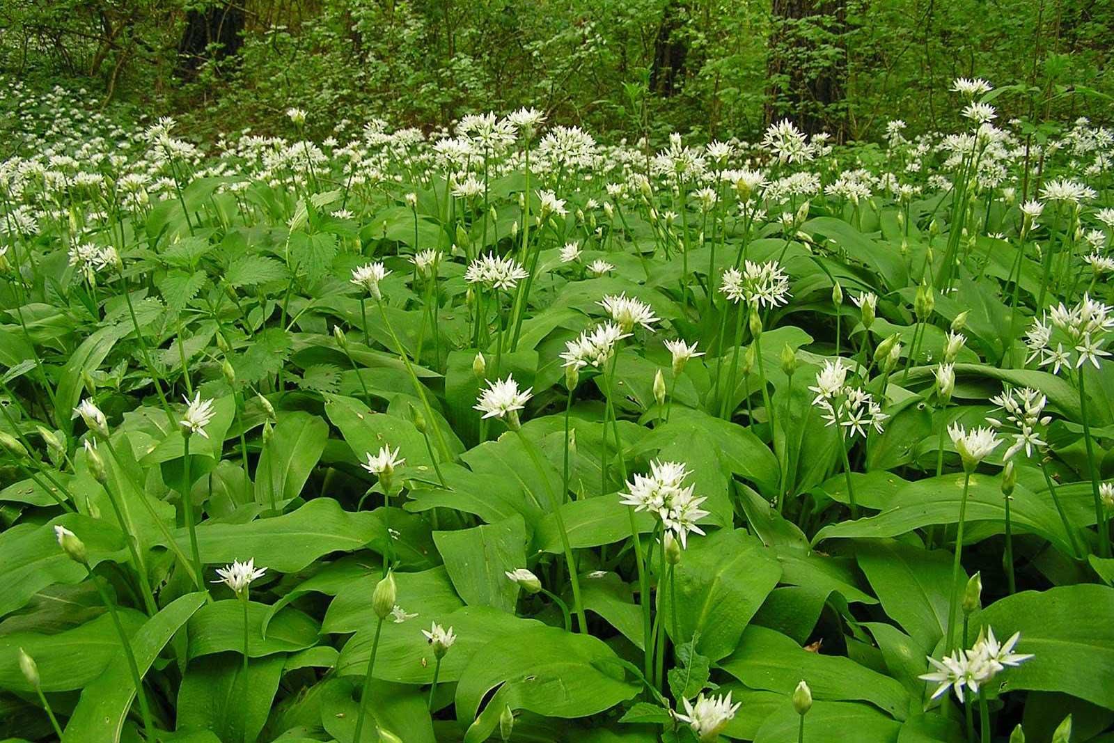 Dalmatinska mišancija - koje biljke brati i kako pripremati? Medvjeđi luk