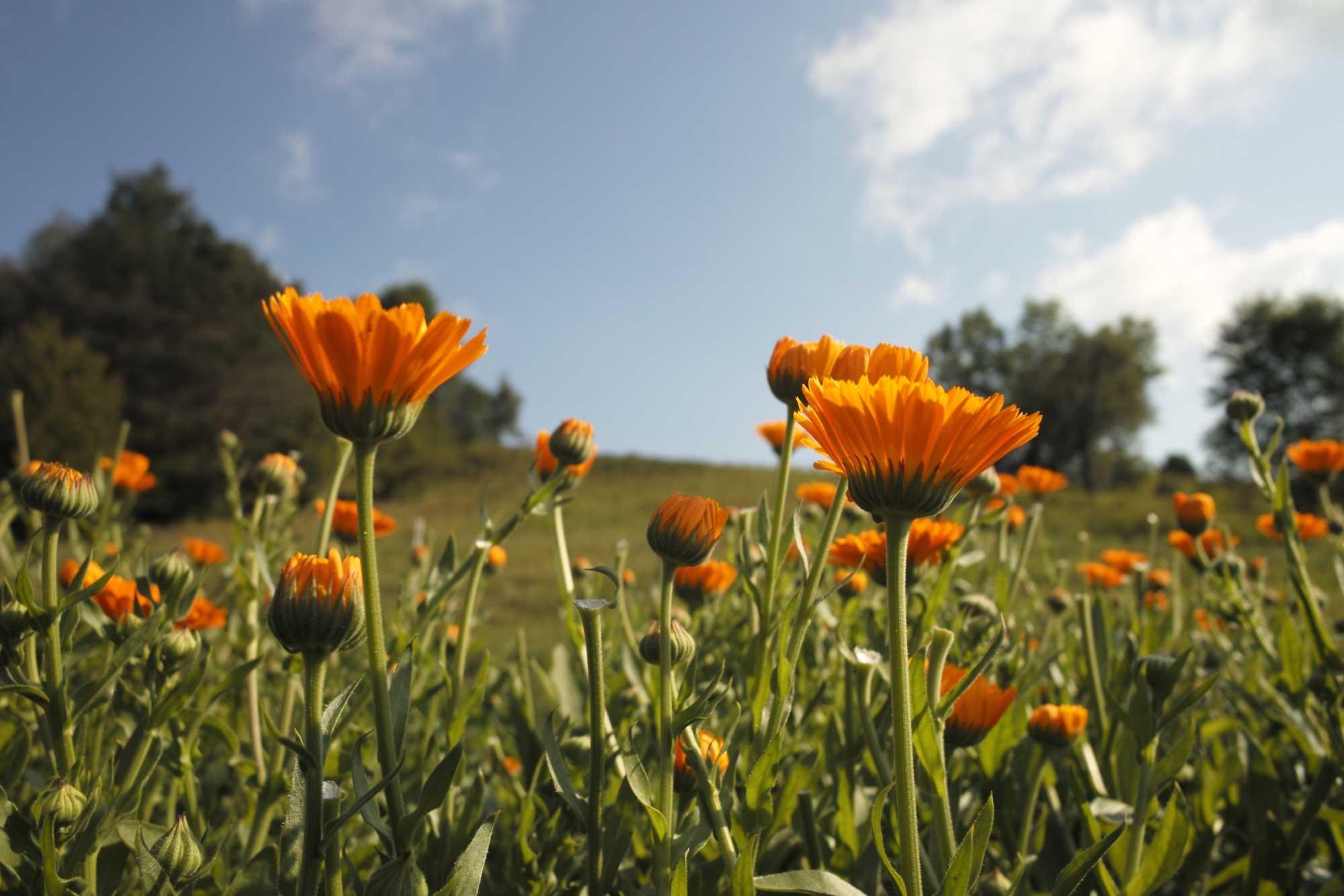 Planiranje vrta: Priprema za proljetno uređenje okućnice smještajnog objekta - neven